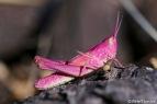 Zeldzame roze sprinkhaan gespot in Zelzate